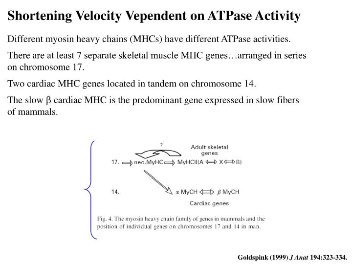 Shortening Velocity Vependent on ATPase Activity