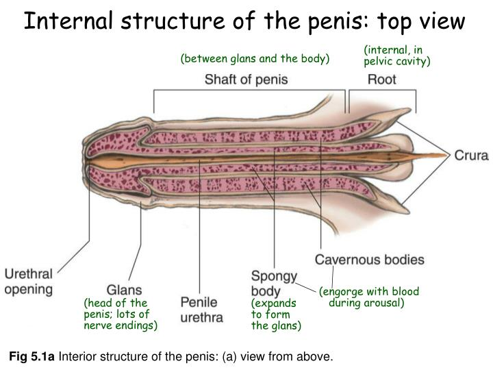 Ppt Chapter 5 Male Sexual Anatomy Physiology Powerpoint