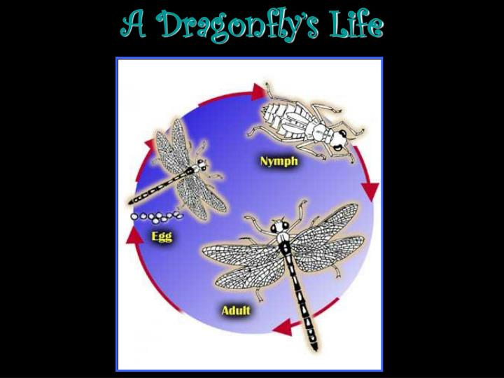 A dragonfly s life