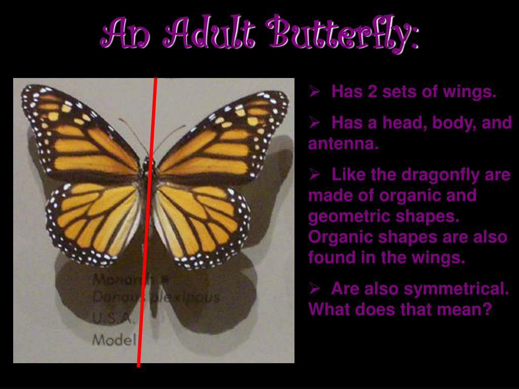 An Adult Butterfly: