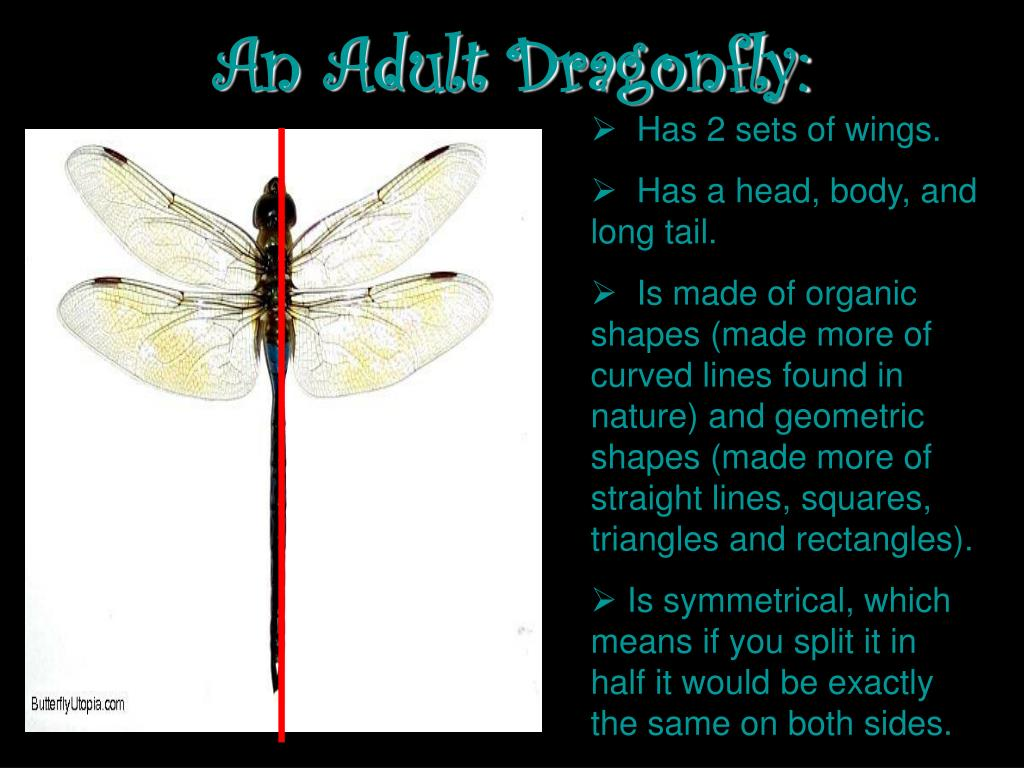 An Adult Dragonfly: