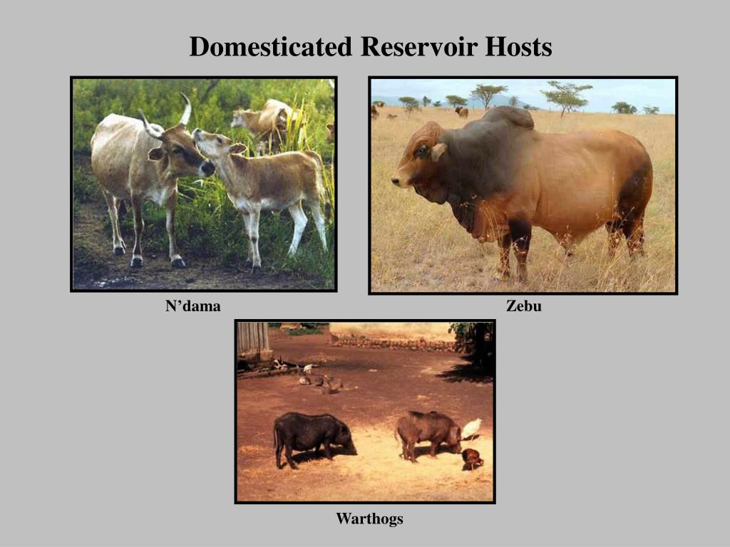Domesticated Reservoir Hosts