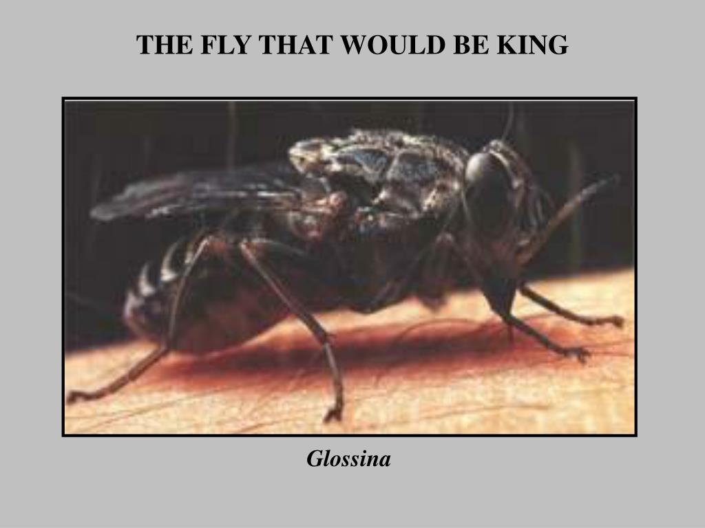 the fly that would be king l.