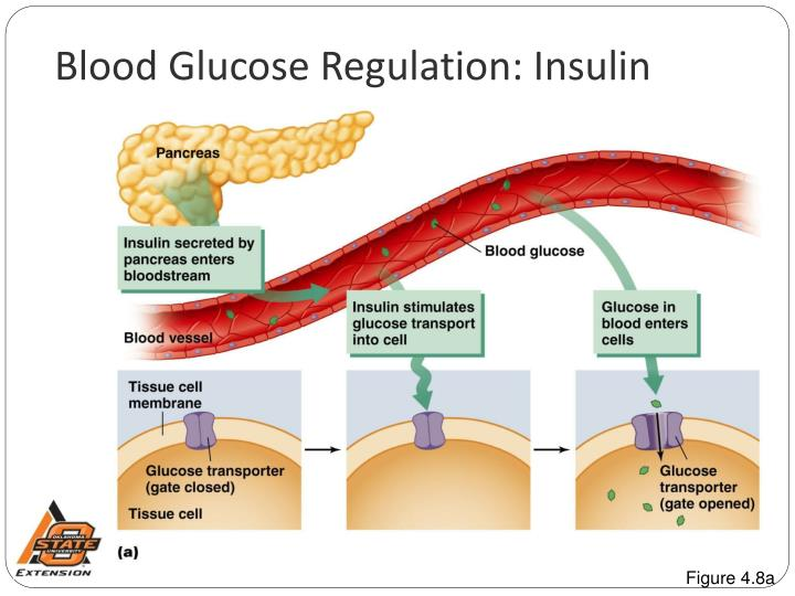 blood glucose regulation essay Insulin and glucagon are potent regulators of glucose metabolism for decades, we have viewed diabetes from a bi-hormonal perspective of glucose regulation this perspective is incomplete and inadequate in explaining some of the difficulties that patients and practitioners face when attempting to tightly control blood glucose concentrations.