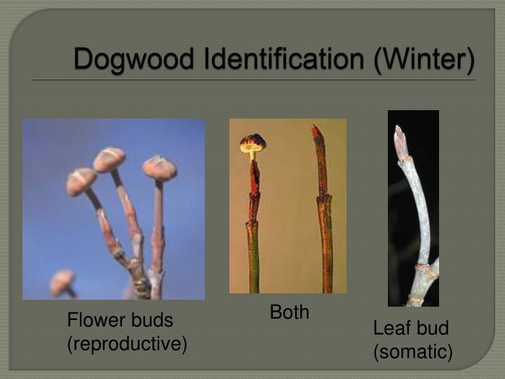 Dogwood Identification (Winter)