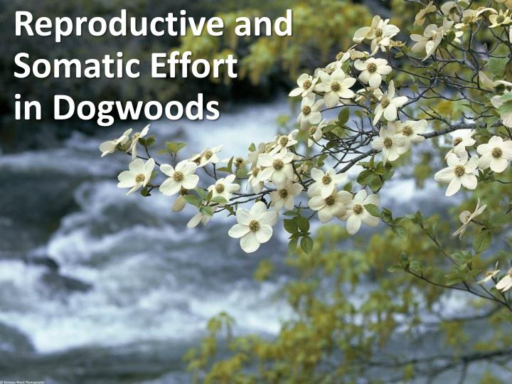 Reproductive and somatic effort in dogwoods