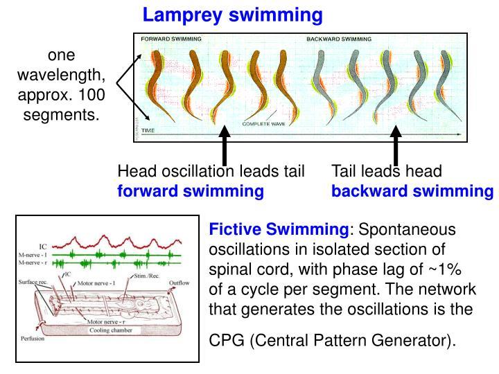 Lamprey swimming