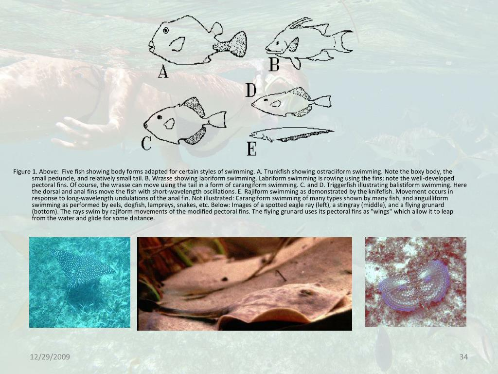 Figure 1. Above:  Five fish showing body forms adapted for certain styles of swimming. A. Trunkfish showing