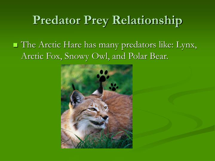 predator prey relationship polar bear and seal Polar bears are the top predator in the arctic marine ecosystem because  polar  bears can devour huge amounts of fat from seals when this prey is abundant.