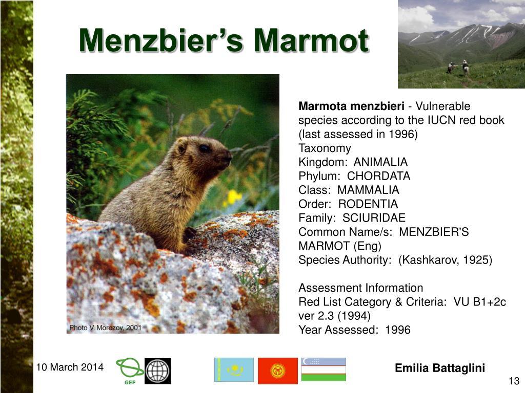 Menzbier's Marmot