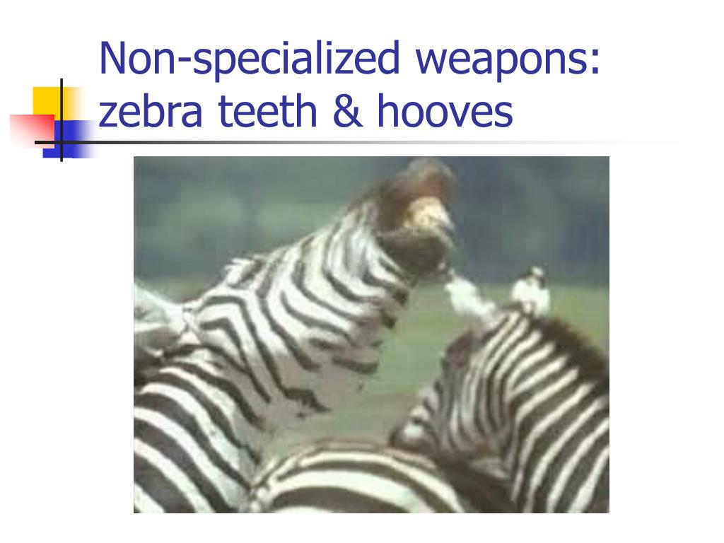 Non-specialized weapons: zebra teeth & hooves