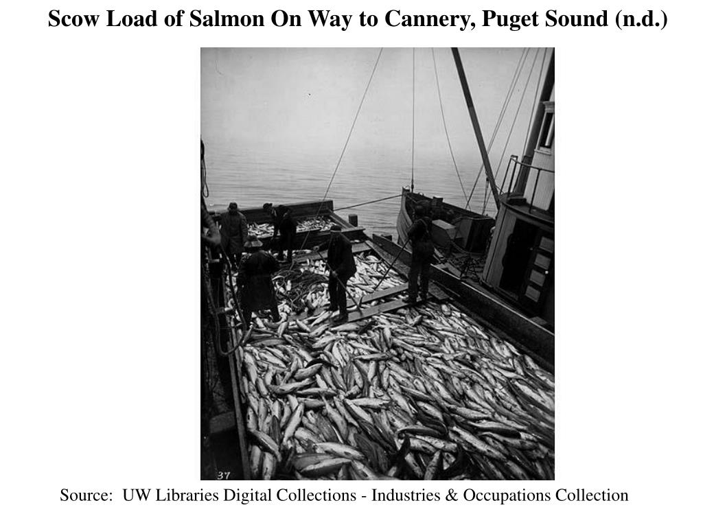 Scow Load of Salmon On Way to Cannery, Puget Sound (n.d.)