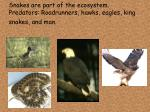snakes are part of the ecosystem predators roadrunners hawks eagles king snakes and man