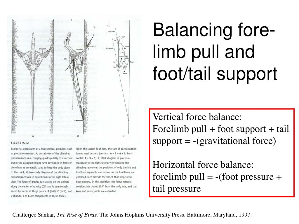 Balancing fore-limb pull and foot/tail support