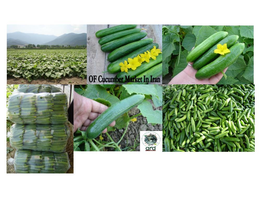 OF Cucumber Market In Iran