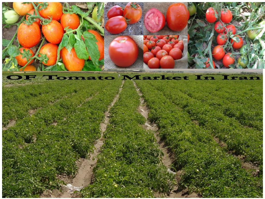 OF Tomato Market In Iran