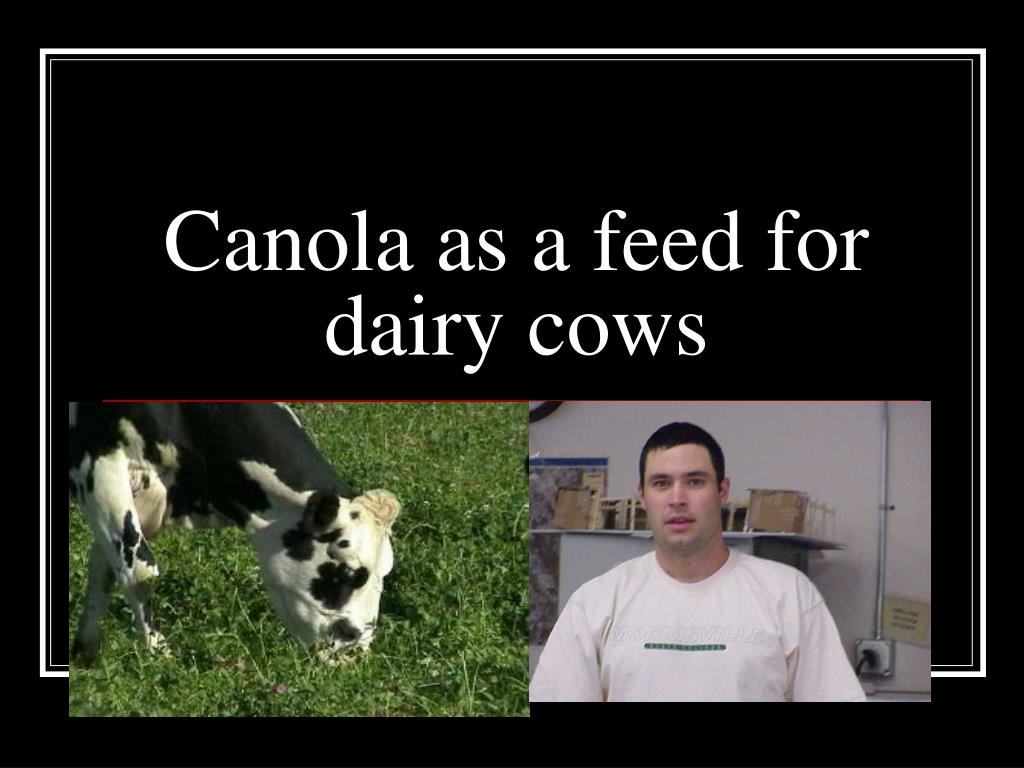 canola as a feed for dairy cows l.