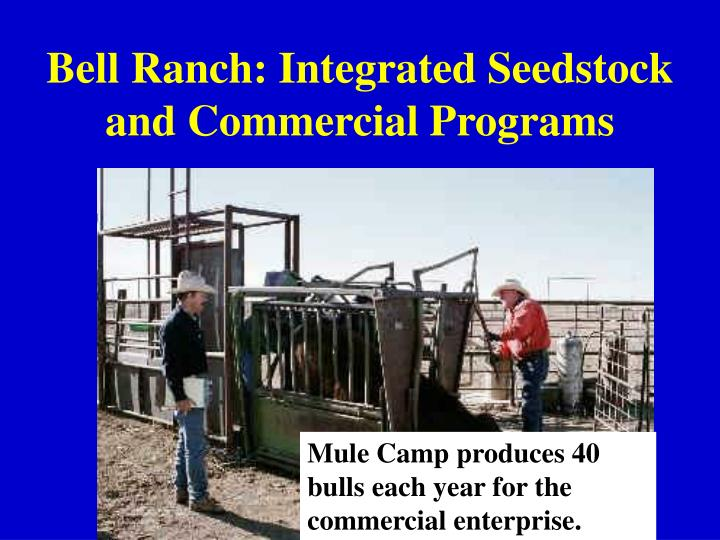 Bell ranch integrated seedstock and commercial programs