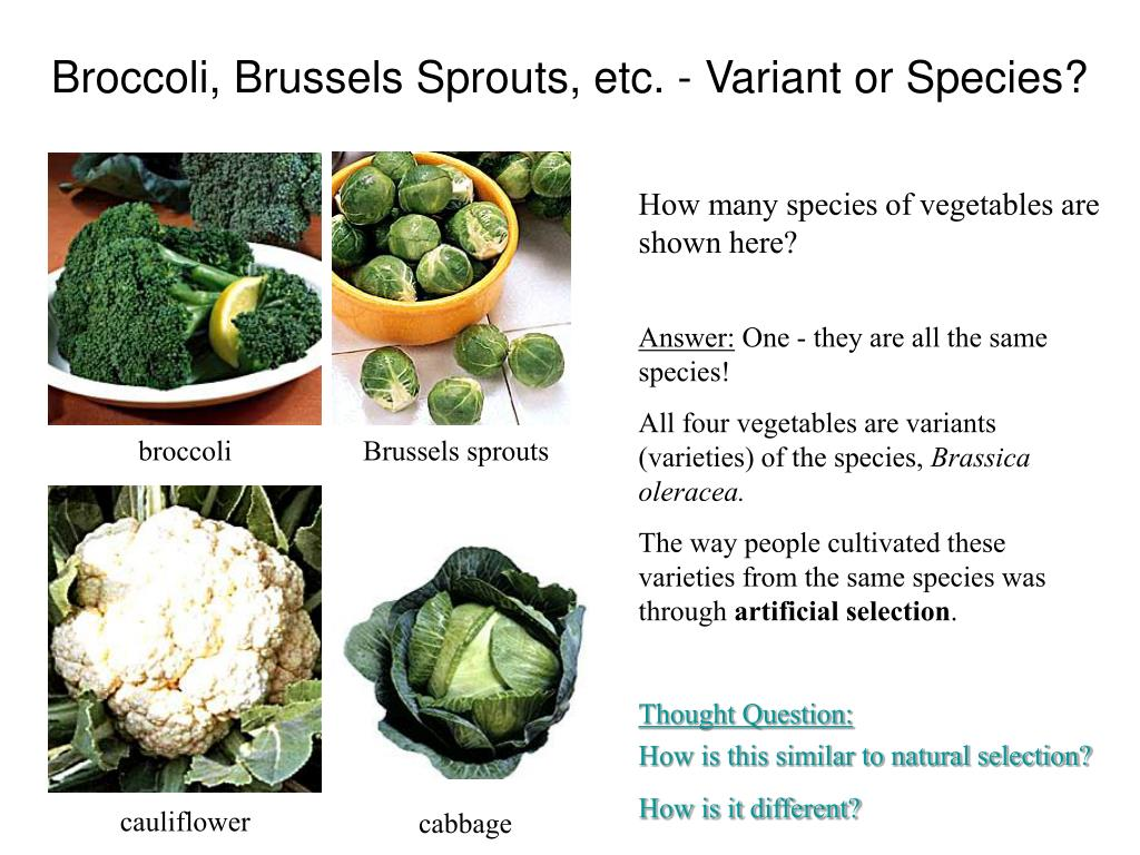 Broccoli, Brussels Sprouts, etc. - Variant or Species?