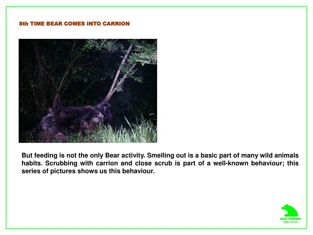 8th TIME BEAR COMES INTO CARRION
