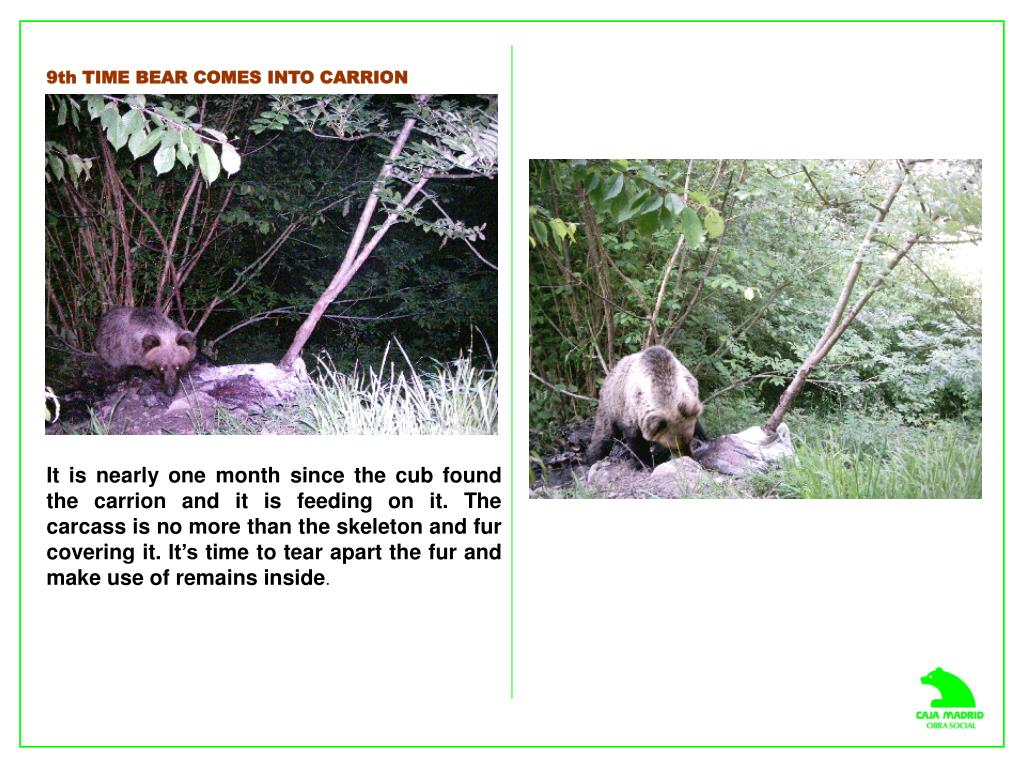 9th TIME BEAR COMES INTO CARRION