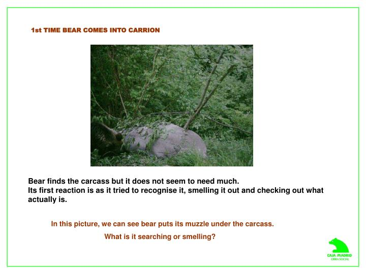 1st TIME BEAR COMES INTO CARRION