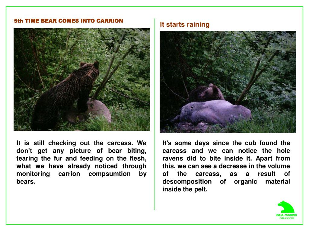 5th TIME BEAR COMES INTO CARRION