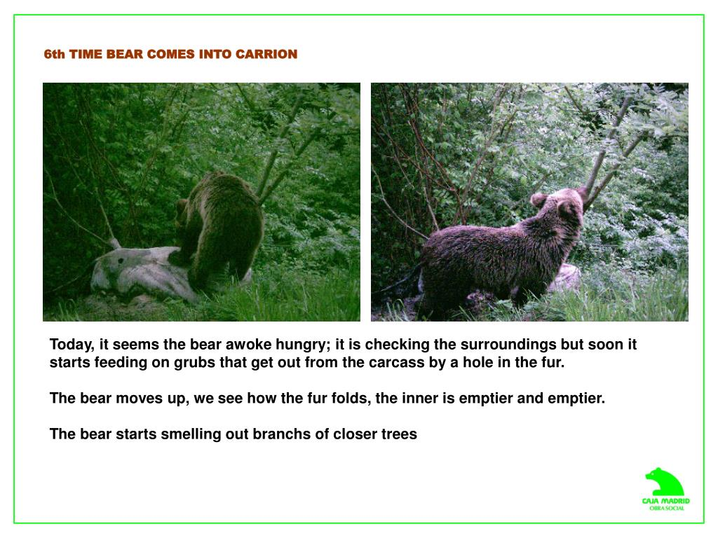 6th TIME BEAR COMES INTO CARRION