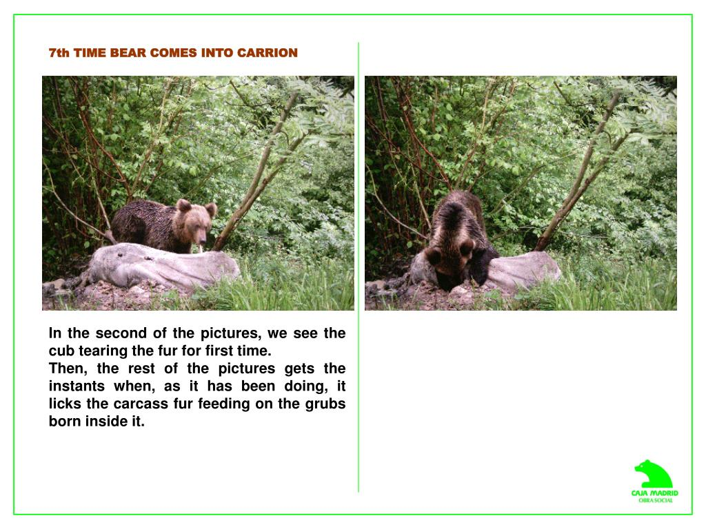 7th TIME BEAR COMES INTO CARRION