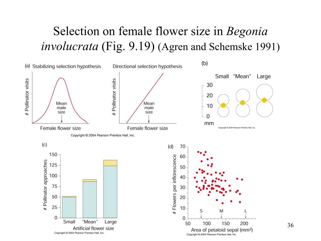 Selection on female flower size in