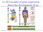 11 10 cascades of gene expression direct the development of an animal1