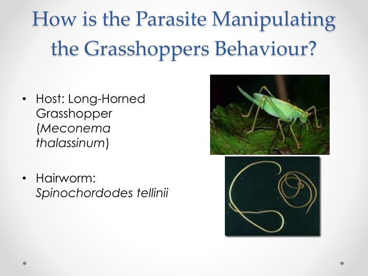 How is the Parasite Manipulating the Grasshoppers Behaviour?