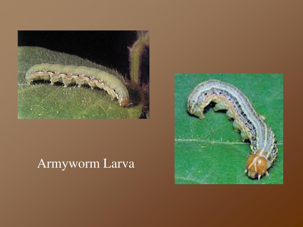 Armyworm Larva
