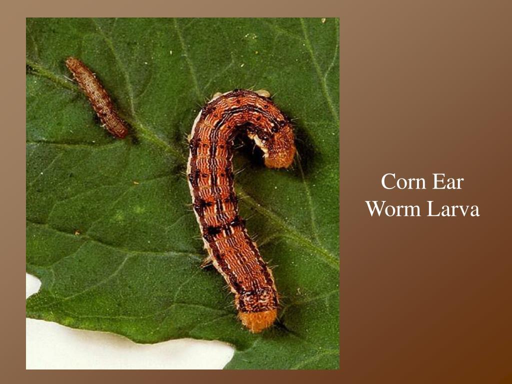 Corn Ear Worm Larva