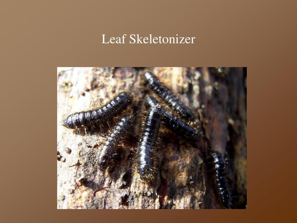 Leaf Skeletonizer