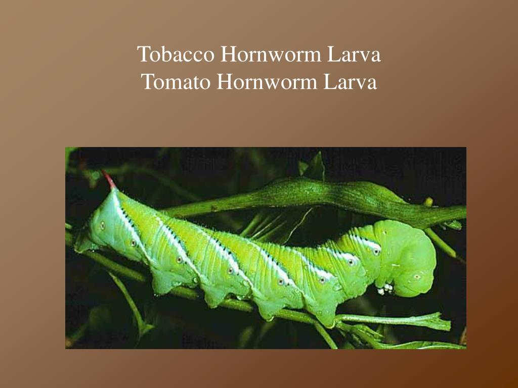 Tobacco Hornworm Larva