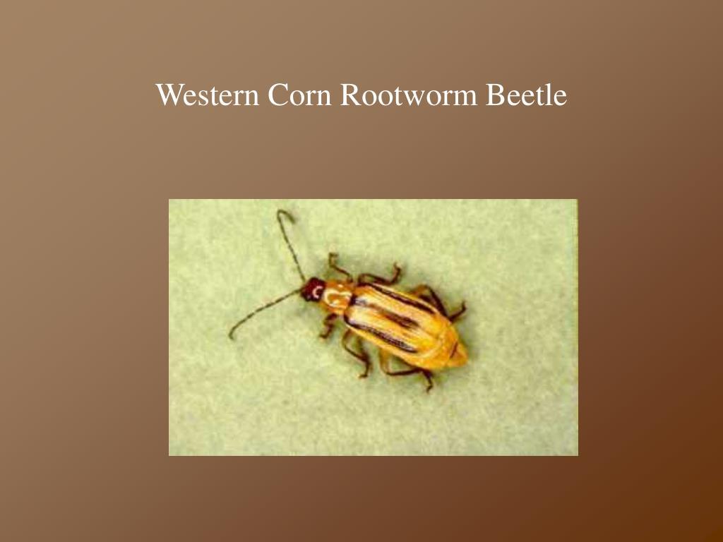 Western Corn Rootworm Beetle