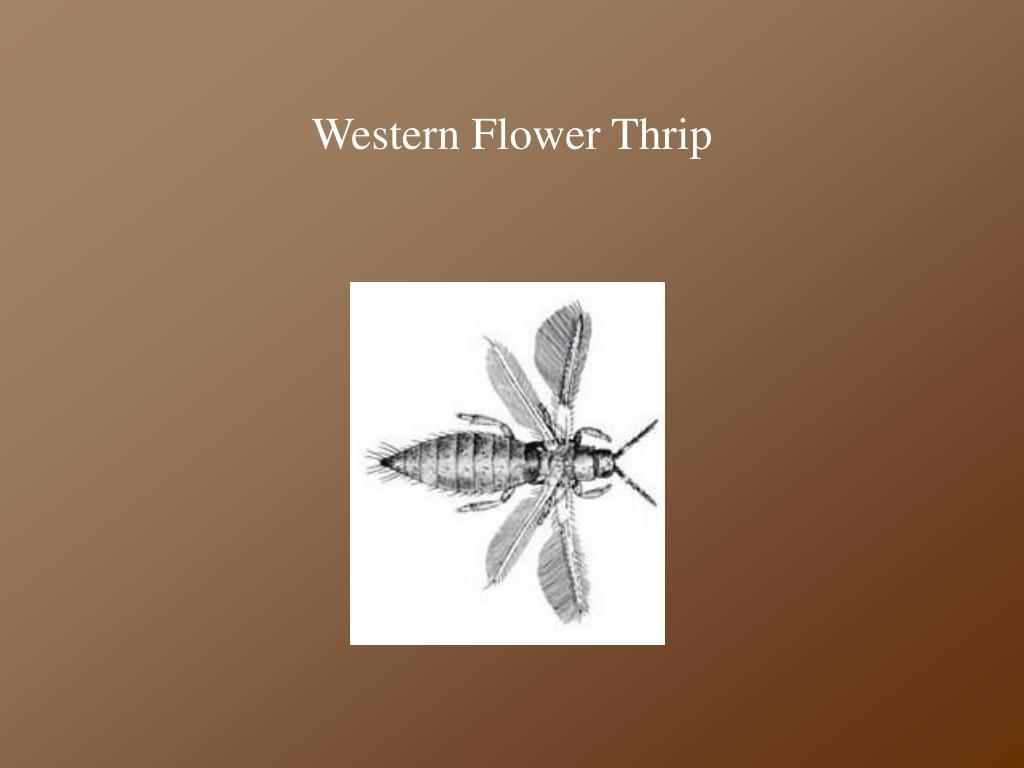 Western Flower Thrip