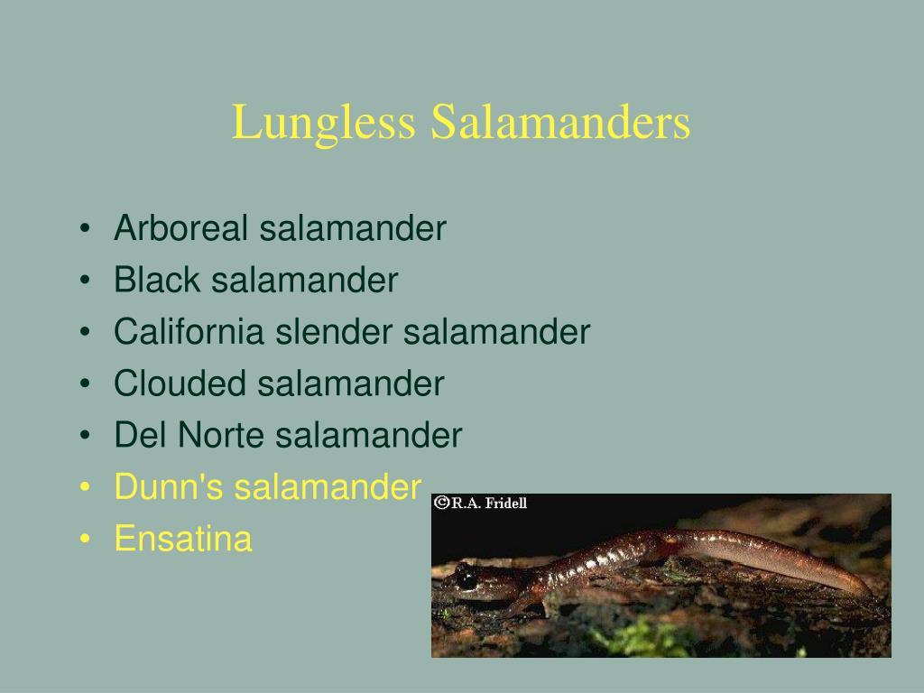 Lungless Salamanders