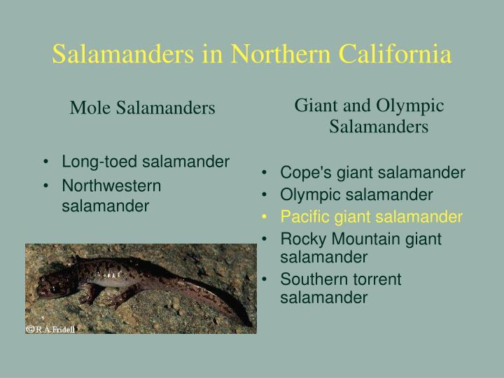 Salamanders in northern california