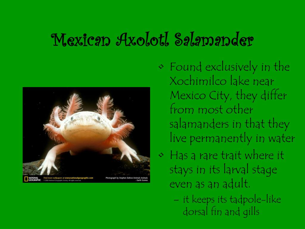 Mexican Axolotl Salamander