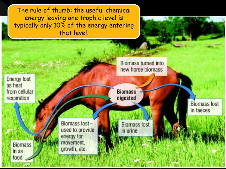 The rule of thumb: the useful chemical energy leaving one trophic level is typically only 10% of the energy entering that level.