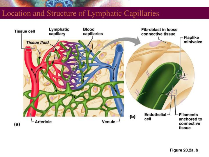 Ppt The Lymphatic And Immune Systems Powerpoint Presentation Id