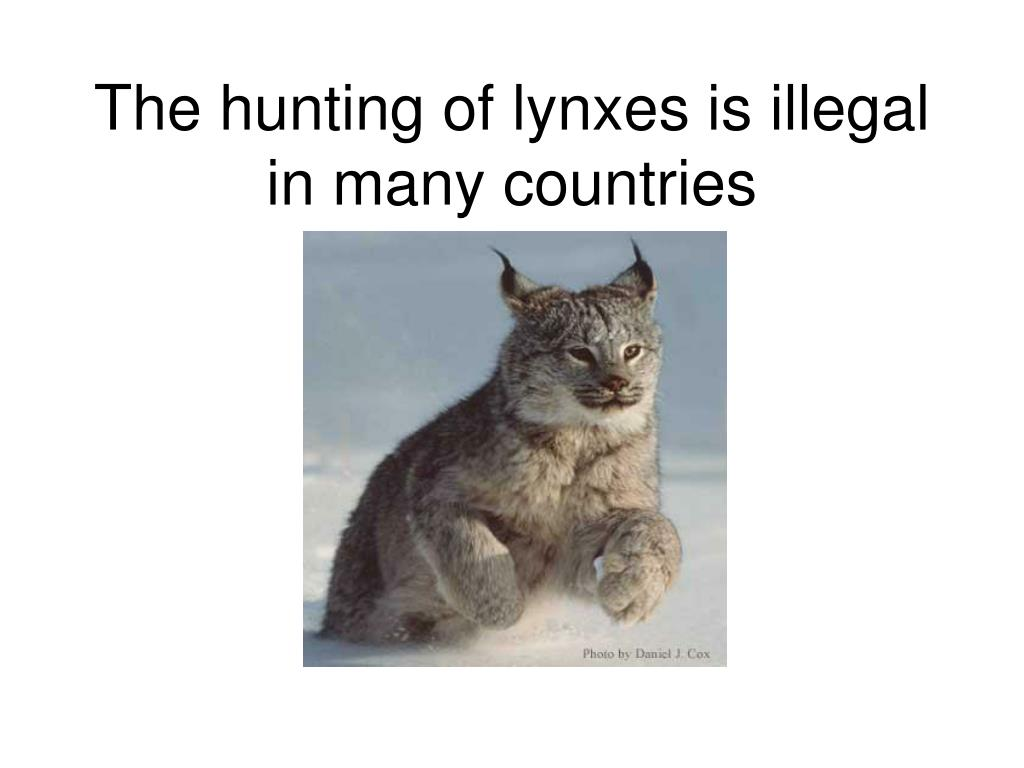 The hunting of lynxes is illegal in many countries