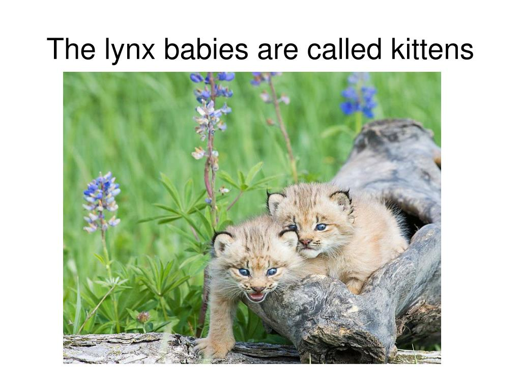 The lynx babies are called kittens
