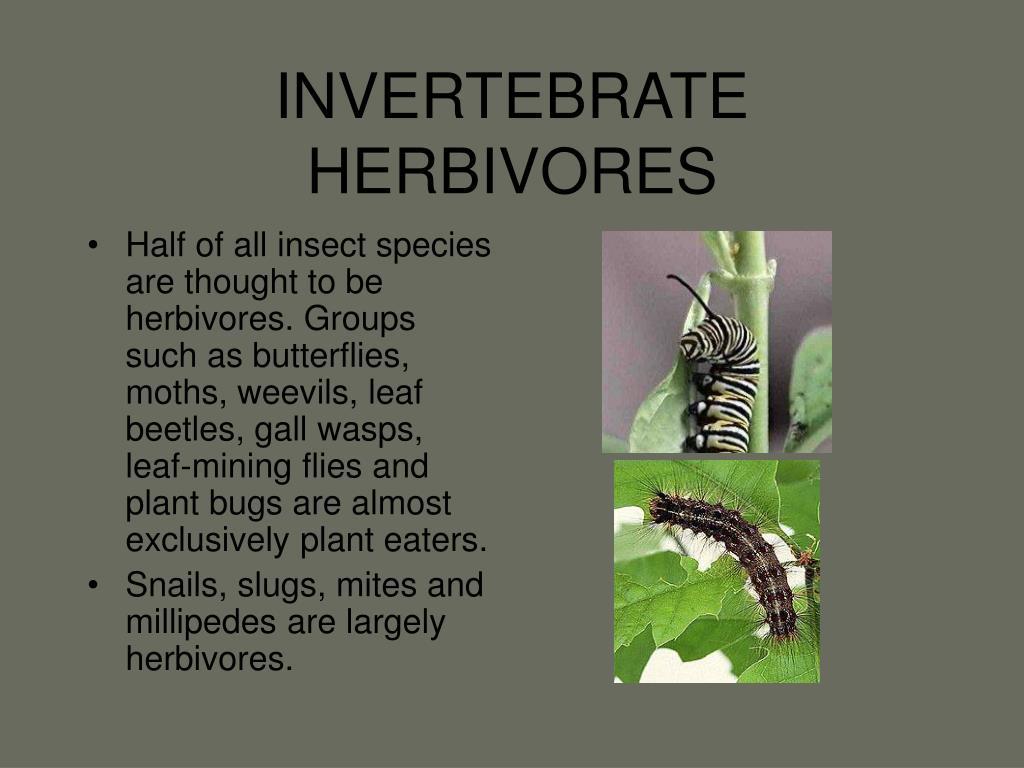 INVERTEBRATE HERBIVORES