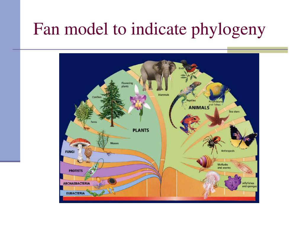 Fan model to indicate phylogeny