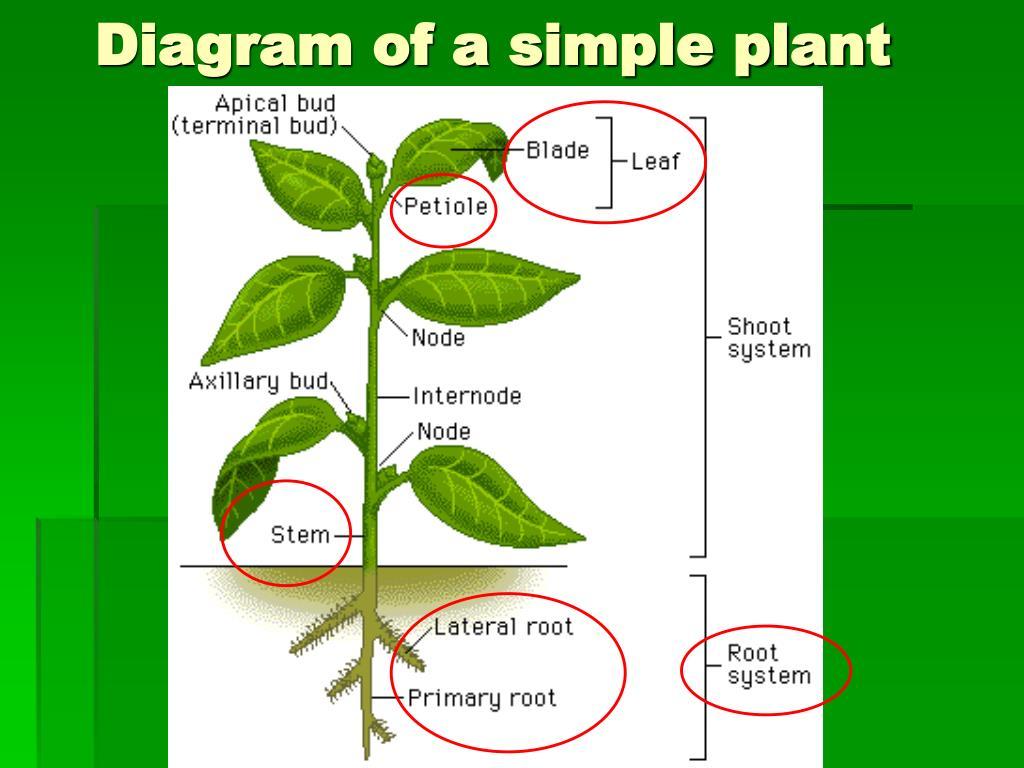 PPT - Lesson 1- Plant Structure PowerPoint Presentation ...