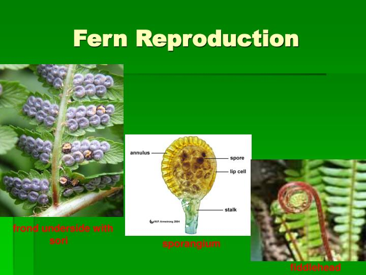 Fern uses sperm to reproduce