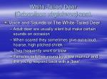 white tailed deer odocoileus virginianus cont12